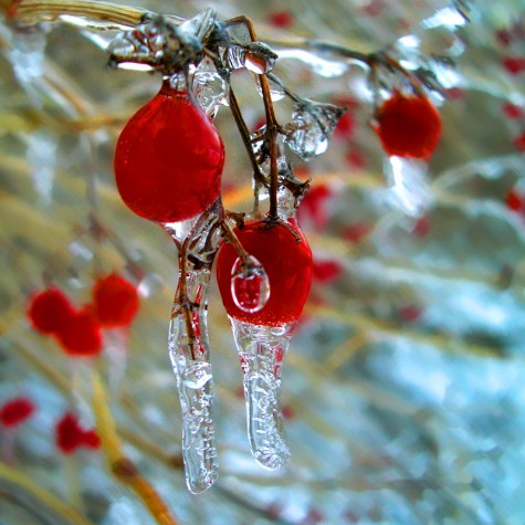 Icy berries along Muskegon's Lakeshore Bike Trail on February 17, 2006