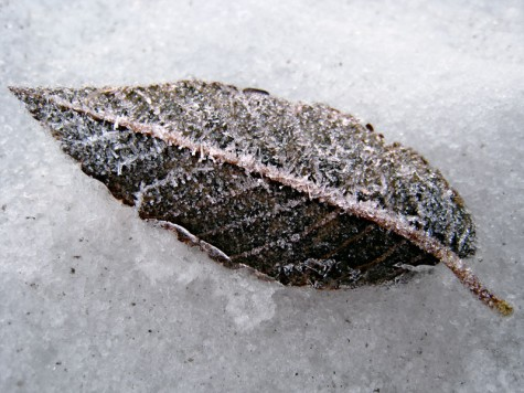 This leaf was frozen to the walkway of Muskegon's Lakeshore Bike Trail near the Cobb plant. The ice crystals gave it a really pretty fossilized effect.