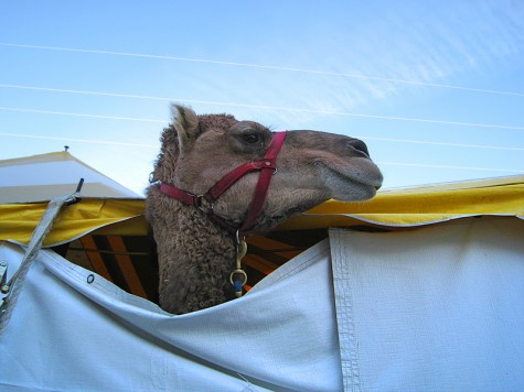 A camel at Muskegon's LC Walker arena on the morning of February 28, 2009