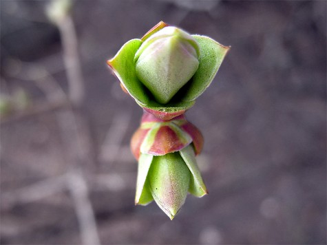 A lovely little bud from a walk along Muskegon's Lakeshore Bike Trail in early April.