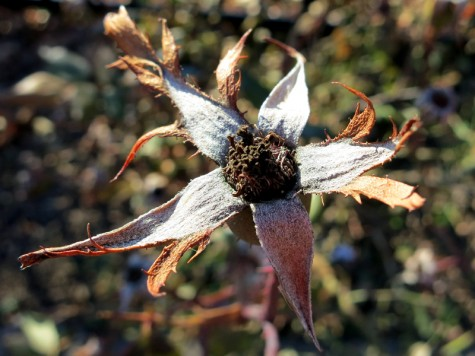 A dried flower along the Muskegon River delta on January 8, 2012