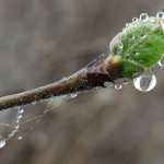 Dewy bud 3, March 16, 2012