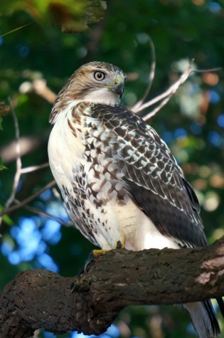 Ruddiman Lagoon Hawk, September 6, 2014