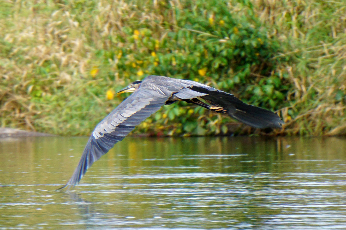 Muskegon River Heron, September 24, 2016